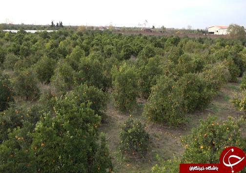 خبرنگاران مازندران گزارش می دهد؛ جوان سازی باغ های قدیمی مرکبات مازندران با پرداخت تسهیلات میلیونی