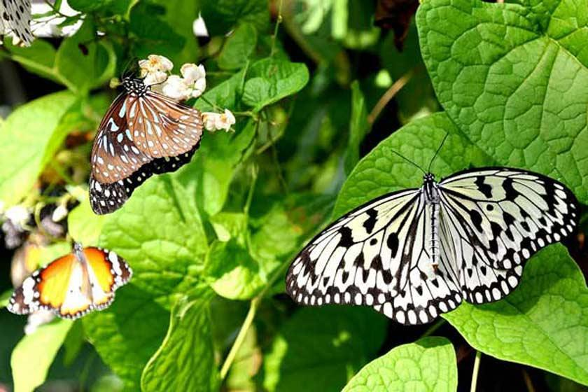 باغ پروانه بانکوک، دنیای رنگارنگ پروانه ها