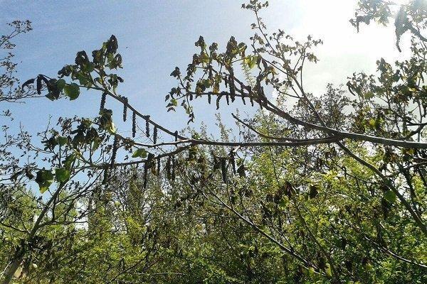 خسارت سرمازدگی به 1250 هکتار از باغ های لردگان