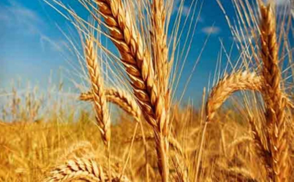 پیش بینی وزیر جدید جهاد کشاورزی از میران فراوری گندم در امسال