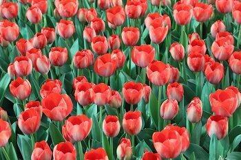 10هزار گل لاله در منطقه 2 شکوفا شد